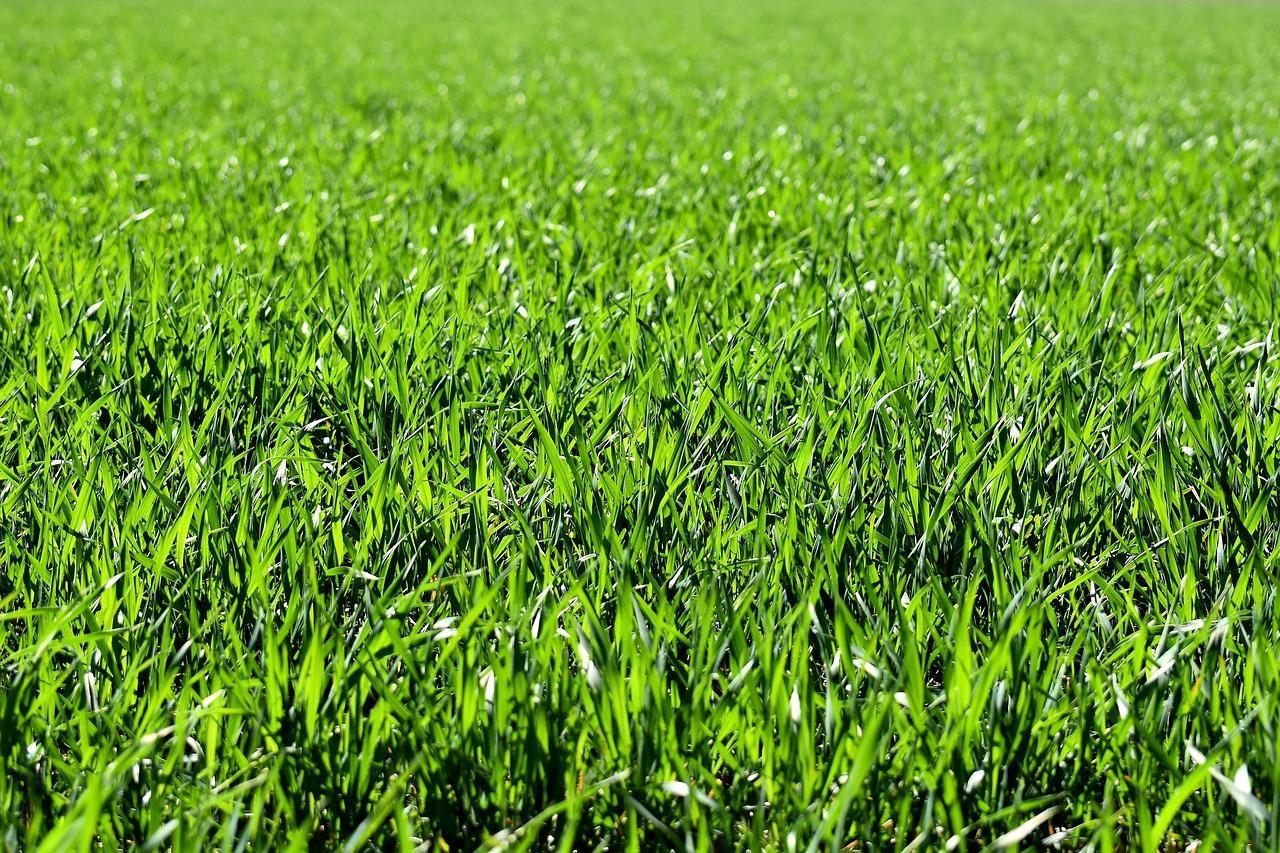 Skąd się wzięły trawniki?