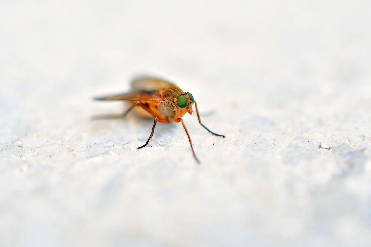 Jak się pozbyć much z domu?
