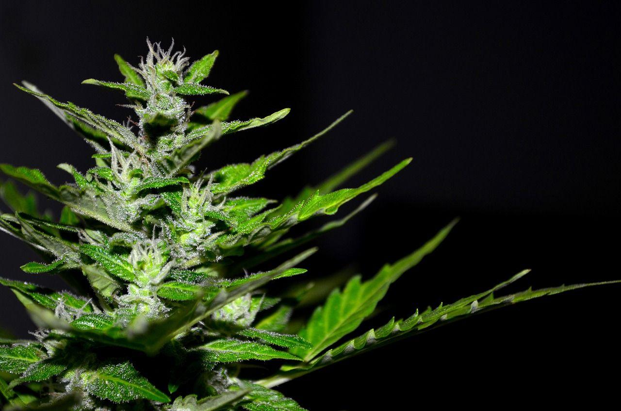 Nasiona konopii, jako zdrowy składnik dla wielu dań i napojów